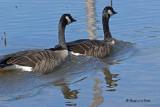 20070918 319 Canada Geese .jpg