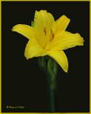 20070623 132 Day Lily.jpg