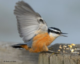nuthatches_2007