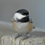 20071002 061 Black-capped  Chickadee.jpg