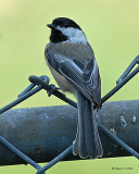 20071007 009 Black-capped Chickadee.jpg