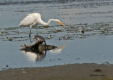 Herons and Egrets 2007