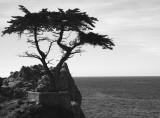 Lone Cypress B/W
