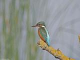 Stodmarsh Kingfisher 1.jpg