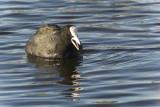 Coot at Stodmarsh Nature Reserve, Kent