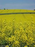 Oil Seed Rape Field, nr Shoreham Kent
