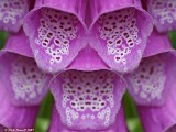 Modified Foxglove