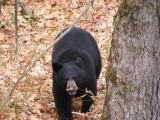 PB100026 Ours noir au pied de ma cache.jpg