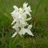 Dactylorhiza maculata ssp. erecitorum albino