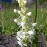 Gymnadenia conopsea ssp densiflora albino