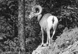 Canadian Rockies Mountain Goats