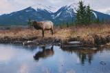 Banff NP Elk