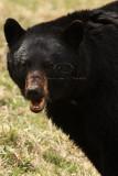 Banff NP Black Bears