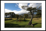Trees  - Seno Ultima Esperanza