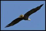 Bald Eagle in Flight II