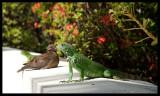 Iguana and Dove