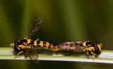Copulating Hoverflies