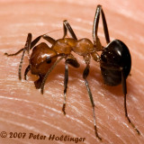 Biting Ant - Formica
