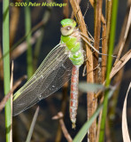 Dragonfly Teneral