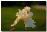 Iris in the fading sun