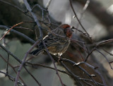 House Finch with tumor