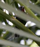 Lesser Antillean Bullfinch