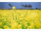 ªáªFÁa¨¦ªoµæªá¥Ð¡i¶À¦â¨I·Ä ¡jRape flower field : yellows addiction