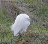 Snowy Egret in breeding plumage on a cold day