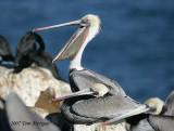 1.Brown Pelican begins a yawn