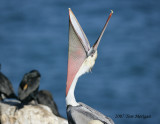 3.Brown Pelican yawns upward