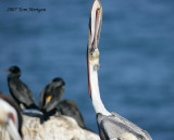4.Brown Pelican does an upward mouth closure