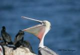 2.Brown Pelican opens wider