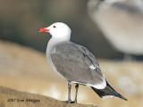 Heermannn's Gull,winter breeding