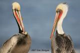 Brown Pelicans meeting