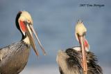 Brown Pelicans talking