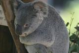 Queenland Koala