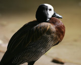 White-faced Whisling Duck