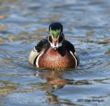 Wood Duck,male