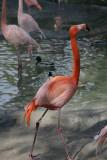 Carribean Flamingo