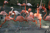 Carribean Flamingos