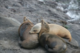 Three California Sea lions