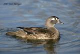 Wood Duck,female