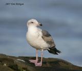 Western Gull,second year