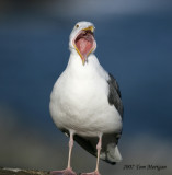 Western Gull protests
