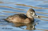 Ring-necked Duck,female