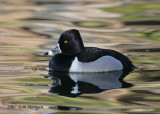 Ring-necked Duck,male