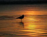 Gull at Sunset on Coronado Beach