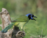 Green Jay scolds