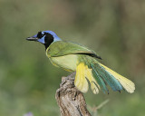 Green Jay spreads his tail to fly