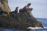 Stellar Sea Lion Family
